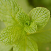 Common Mint - Mentha