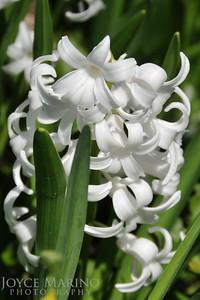 White Hyacin -- DSC_9834