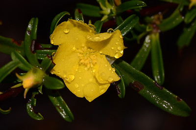 "Narrow -leaved Guinea Flower, ""Hibbertia linearis"".  A shrub.  Count the stamens, less than 25 whereas the ""H. obtusifolia"" has more than 30. Typical leaf which may widen towards the tip."