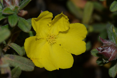 """Hibbertia linearis"", Narrow-leaved Guinea Flower""  Note leaves hairy surface that widen towards tips which may have a small notch."