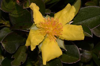 """""""Hibbertis scandens"""", Climbing Guinea Flower.  A vine."""