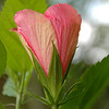 We have three Seminole Pink Hibiscus plants. Seminole Pink is a very common variety. The bush grows very tall and produces an abundance of blooms. Remaining pix showcase the progression of Seminole Pink blooms at various stages.