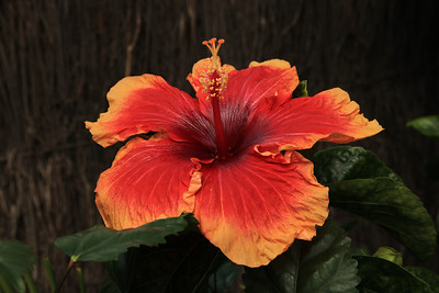 Hibiscus April 2009 Canon 5DII