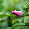 Flower036d (Hibiscus)