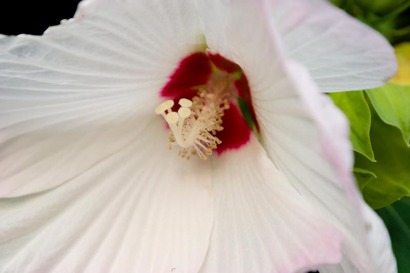 Flower052b (Hibiscus)