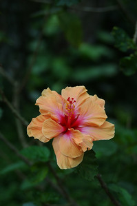 Tropical hibiscus and hardy perennial hibiscus grow throughout the islands.There may now be over 10,000 named varieties of tropical hibiscus, with 6 distinct forms of flowers (singles, doubles, crested, etc.) in numerous colors and combinations of colors.Hawai'i-rose / Hibiscus rosa-sinensis