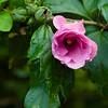 Flower036b (Hibiscus)