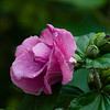 Flower036c (Hibiscus)