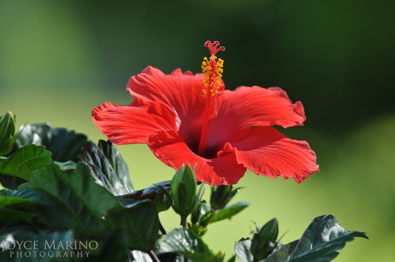 Orange Hibiscus, DSC_9738
