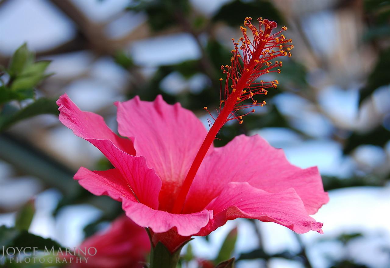 Pink Hibiscus -- DSC_0168