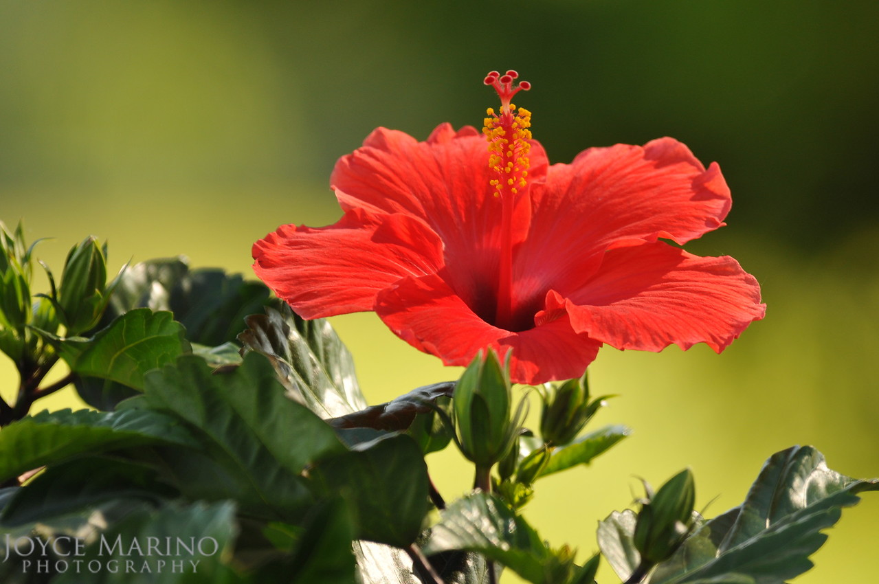 Orange Hibiscus, DSC_9763Orig
