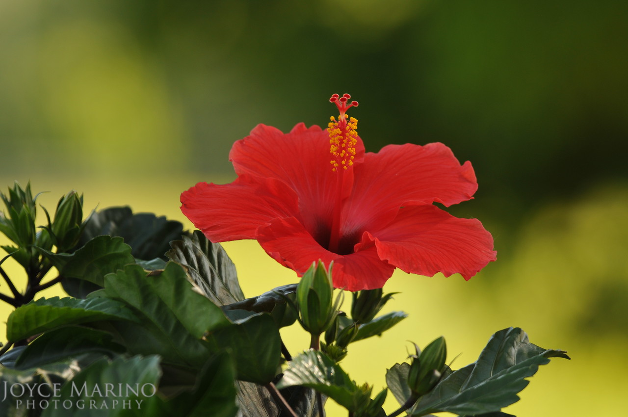 Orange Hibiscus, DSC_9780