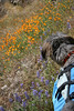 Wookie with a field of Lupine and California Poppies along the Hites Cove Trail near YNP.