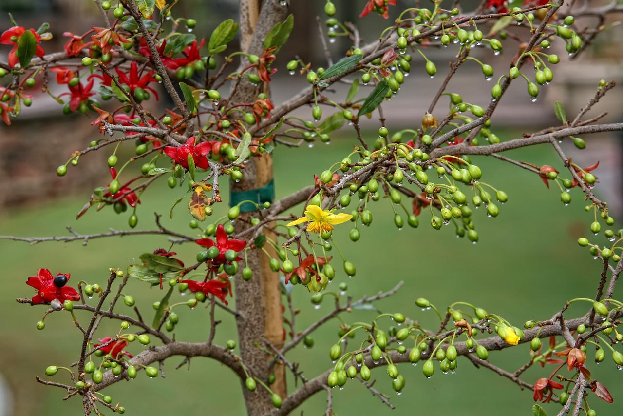 """Mai tứ quý<br /> <br /> Là một loại hoa mai vàng nhưng sau khi rụng cánh hoa còn lại đài hoa đỏ và hạt xanh (khi chín hạt sẽ chuyển thành màu đen), chính vì vậy loài mai này còn có tên là """"Nhị độ mai"""" tức """"mai nở hai lần"""", tên khoa học là Ochna serrulata."""