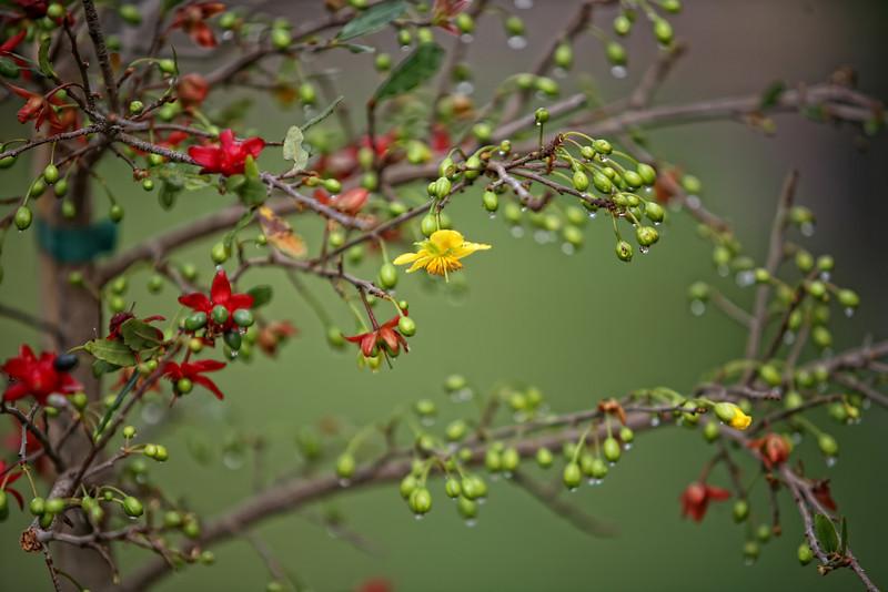 """Mai tứ quý<br /> <br /> Mai tứ quý (danh pháp khoa học: Ochna serrulata) là một loại hoa mai có hoa màu vàng thuộc chi Ochna của họ [[Ochnaceae], còn được gọi là nhị độ mai, tức mai nở hai lần, trước vàng sau đỏ. Loại này nở hoa quanh năm, tùy theo đặc trưng của từng dạng mai, có tên gọi khác nhau. Người nước ngoài thường gọi mai tứ quý là """"cây chuột Mickey"""" (Mickey-mouse plants), vì họ liên tưởng đài hoa đỏ và trái đen là gương mặt của con chuột nổi tiếng này."""