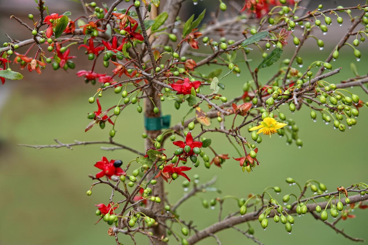 This was taken on the Lunar New year day. <br /> <br /> Thường trên cây mai tứ quý hoa màu đỏ, hoa nở lần đầu có 5 cánh màu vàng, các cánh hoa rơi rụng rồi năm đài hoa đổi thành mầu đỏ, úp lại ôm lấy nhụy, trông giống như nụ hoa vừa nhú. Nhụy bên trong kết hạt rồi hạt to dần, đẩy 5 đài hoa bung ra trông như hoa mai đỏ vừa nở. Hạt ở giữa các cánh hoa có mầu xanh khi còn non và đổi sang mầu đen khi già.