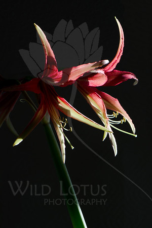 Flower pictured :: Amaryllis<br /> <br /> Flower provided by :: Tagawa Gardens<br /> <br /> 120812_006377 ICC sRGB 16in x 24in pic
