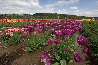 Tulips at the Holland America Bulb Farm   | Sigma 10-20mm f/4-5.6 EX DC HSM