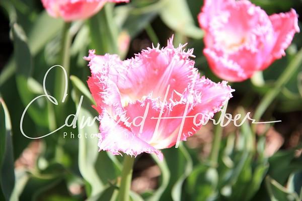 Holland Tulip Festival 2009