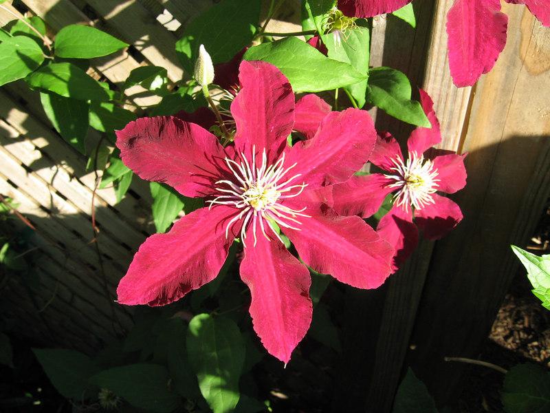 Clematis Niobe on trellis--my back yard
