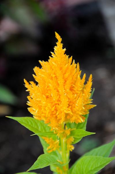 Honduran flowers