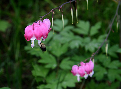Bee visits bleeding heart.