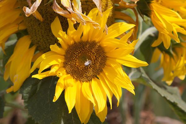 Sebright Gardens  8-21-2011 and 8-19-2012