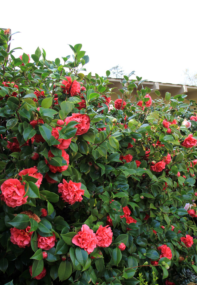 February 2013 camellias in bloom