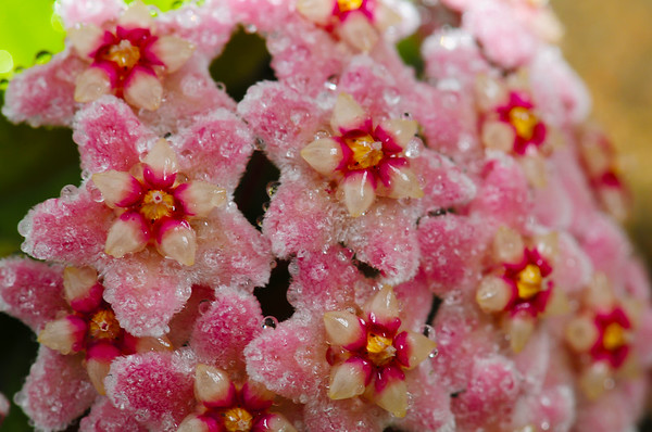 Crystalized Hoya... with the real camera