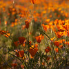 Sea of California poppies