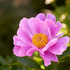Paeonia suffruticosa, tree peony, flower