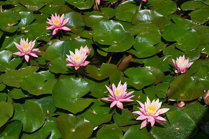 Water lilies at the Chinese Garden