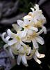fragrant white