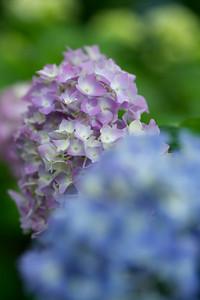 Hydrangea - Flower of Rainy Season  At Mimoroto-ji Temple in Uji City