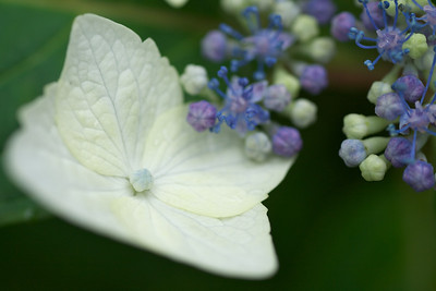 Hydrangea - Flower of Rainy Season