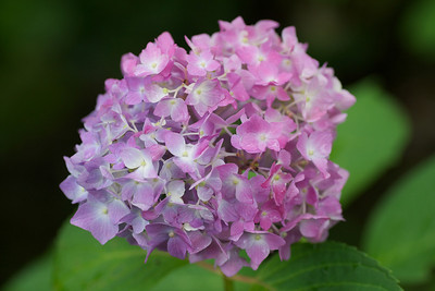 Hydrangea - Flower of Rainy Season  At Mimoroto-ji Temple in Uji City