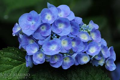 Blue hydrangea after rain -- DSC_0068