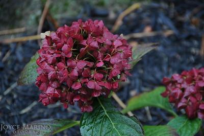 Dark Pink Hydrangea -- DSC_8377