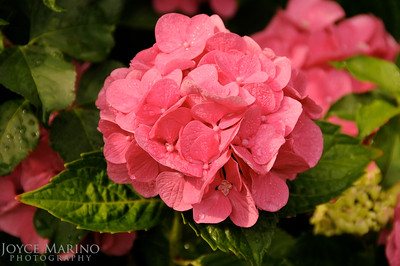 Pink hydrangea -- DSC_0083