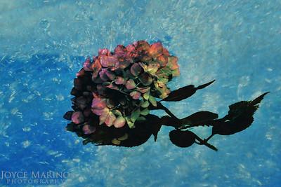 Hydrangea in water - #4589