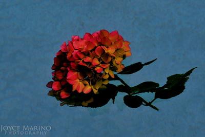 Floating Hydrangea -- DSC_4589