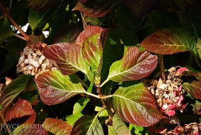 Hydrangea leaves in Fall -- DSC_0199