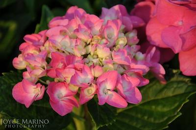 Pink Hydrangea -- DSC_5776
