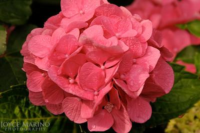 Pink hydrangea -- DSC_0085