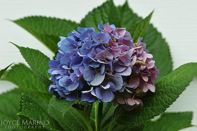 Purple & Blue Hydrangea -- DSC_7222