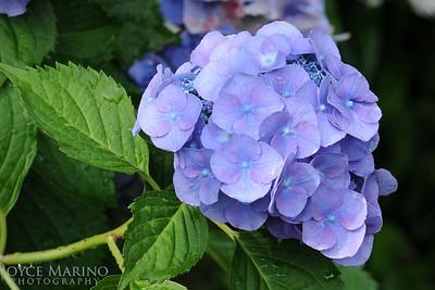 Blue Hydrangea -- DSC_0053
