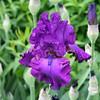 Iris 'Swingtown'