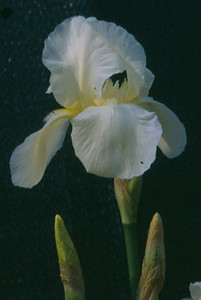 Iris germanica 'Cliffs of Dover'