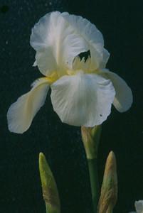 Iris germanica 'Cliffs of Dover'