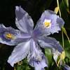 Iris confusa 'Evansiae'